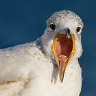 Close-Up Portrait of Squawking Ring-Billed Gull by Gerda Grice
