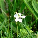 Northern White Violet by Kathleen M. Daley