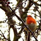 Robin by Paul Reay