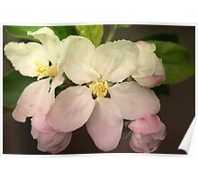 Pink / white Apple Flowers Poster