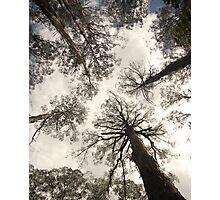 Gumtrees Photographic Print