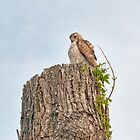 Cooper&#x27;s Hawk by KathleenRinker