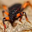 Red Spotted Assassin Bug by Michaela1991