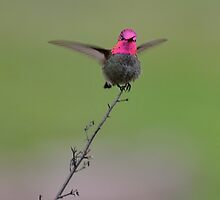 Angry Hummingbird by BrightFogPhoto
