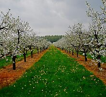 The Orchard by pictureit