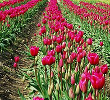 Hot Pink Rows by Tori Snow