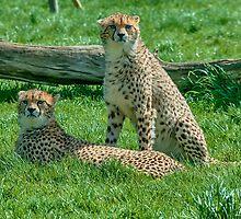 2 Cheetahs by Chris Thaxter