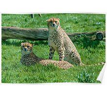 2 Cheetahs Poster