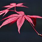 Acer Leaves by Susie Peek