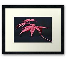 Acer Leaves Framed Print
