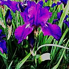 Purple Irises Blooming  On The Mainline by Kater