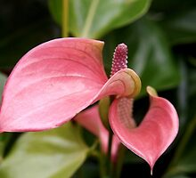Anthurium, Blossoming by Linda  Makiej
