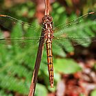 Keeled Skimmer by alan forder