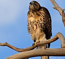Young Redtail by Marvin Collins