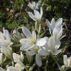 Grass Lilies by demonkourai
