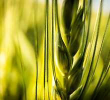 Wheat by Jay Stockhaus