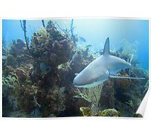 Reef Shark Poster