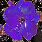 Winter Haven violet enhanced flower by Susan Glaser