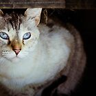 Blue-eyed cat by CopperCat