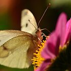Cabbage Moth (Pieris rapae) by Alex Ford