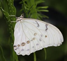 White Morpho Butterfly by hummingbirds