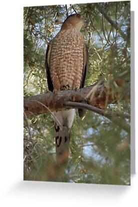 Cooper's Hawk by Kimberly Chadwick