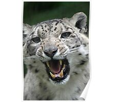 snow leopards teeth Poster