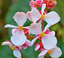 Begonia Propellers by Penny Smith