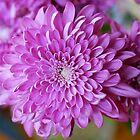 Mother&#x27;s Day Chrysanthemum # 3 by Penny Smith