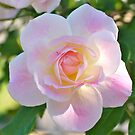 Peach Rose # 2 by Penny Smith
