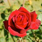Mum's Rose # 2  by Penny Smith