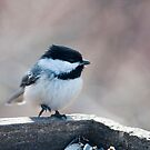 Chickadee With A Hot Foot At Cranberry Marsh by Gary Chapple
