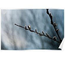Catkin In Silhouette At Cranberry Marsh  Poster
