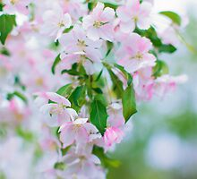 Apple Blossoms by Yannik Hay