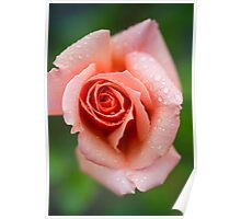 A rose taking a shower Poster