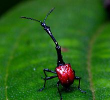 Male Giraffe Beetle  -  by john  Lenagan