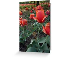 Red Tulip Field Greeting Card