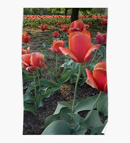 Red Tulip Field Poster