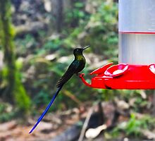 Mindo Violet Sylph Hummingbird by Al Bourassa