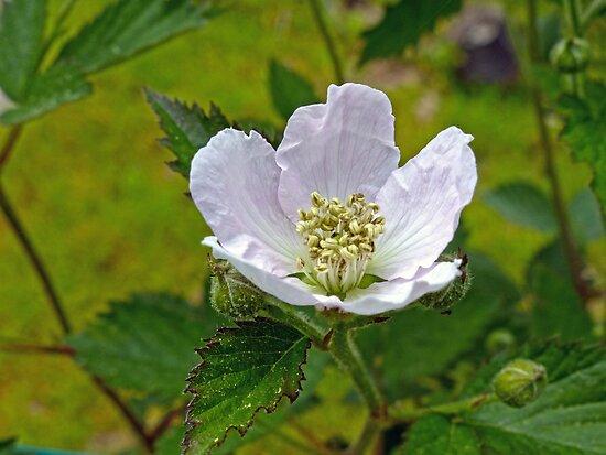 Blackberry Bloom by Susan S. Kline