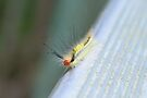 White-Marked Tussock Moth Caterpillar by ©Dawne M. Dunton