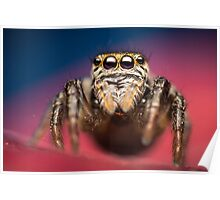 Evarcha arcuata female jumping spider high magnification photo Poster