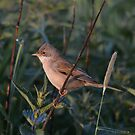 Whitethroat by Peter Wiggerman