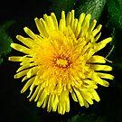 Dandelion ( In a Peebles Garden) by photobymdavey