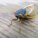 17 Year Cicada (See description for info) by Ginny York
