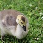 Canadian Gosling by DeeZ (D L Honeycutt)