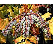 Grape Holly Photographic Print