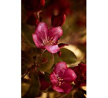 potential - velvety crababble blossoms Photographic Print