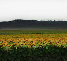 sunflower fields by Megan Shapcott