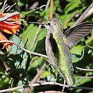 Female Anna's Hummingbird by Carl Olsen
